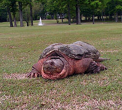 Snapping_turtle_on_richmond_golf_course_brent_b_05.01.13_1
