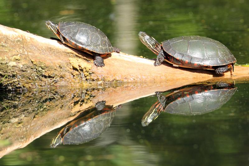 turtles-in-pond