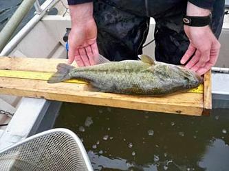 Largemouth Bass electrofishing