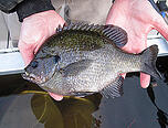 Coppernose Bluegill1
