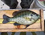 Redear Sunfish - fish stocking - electrofishing - fisheries management
