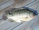 Tilapia - fish stocking - electrofishing - fisheries management