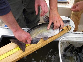 electrofishing tagging