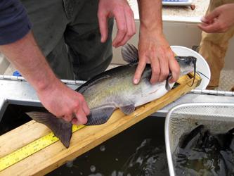 electrofishing tagging
