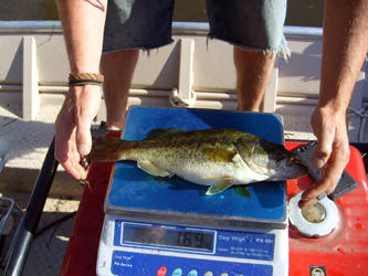 Healthy Young Bass