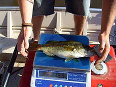 weighing bass during electrofishing