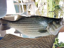 Hybrid Striped Bass1