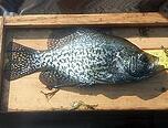 black crappie - fish stocking - electrofishing - fisheries management