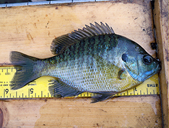 bluegill - fish stocking - electrofishing - fisheries management