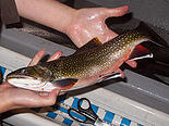 Brook Trout1