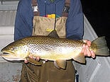Brown trout1