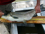 Triploid Grass Carp1