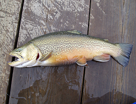 tiger trout1