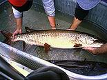 Muskellunge (muskie) - fish stocking - electrofishing - fisheries management