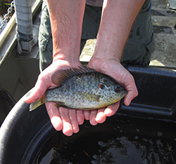 Fisheries Management: Red Ear Sunfish and Parasite Control