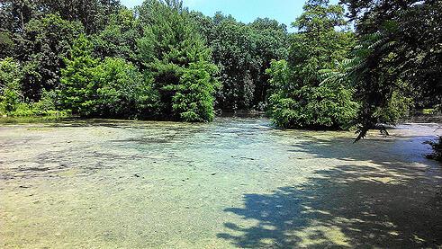 pond algae