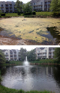 before and after filamentous pond algae treatment