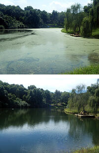 before and after pond treatment watermeal algae brittle naiad