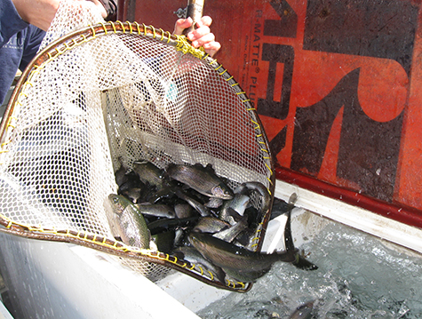 Forage rainbow trout fish stocking