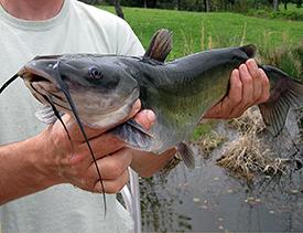 channel catfish1
