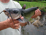 channel catfish1