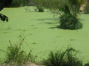 decaying algae in pond