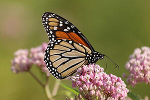 monarch_butterfly_on_milkweed_flower