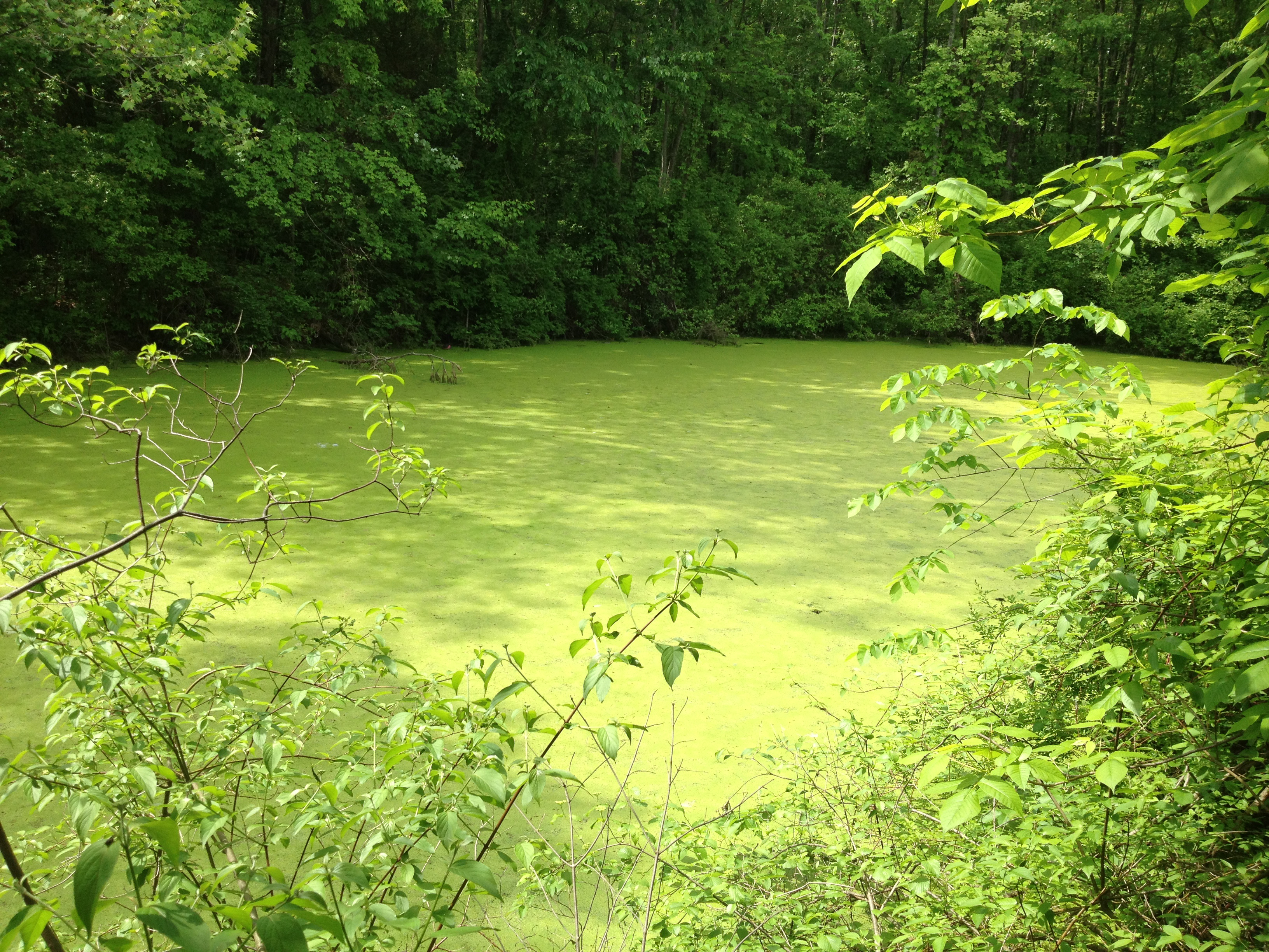 Know your green pond algae and aquatic vegetation for Green water in pond
