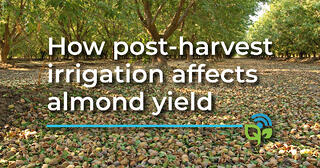 How post-harvest irrigation affects almond yields