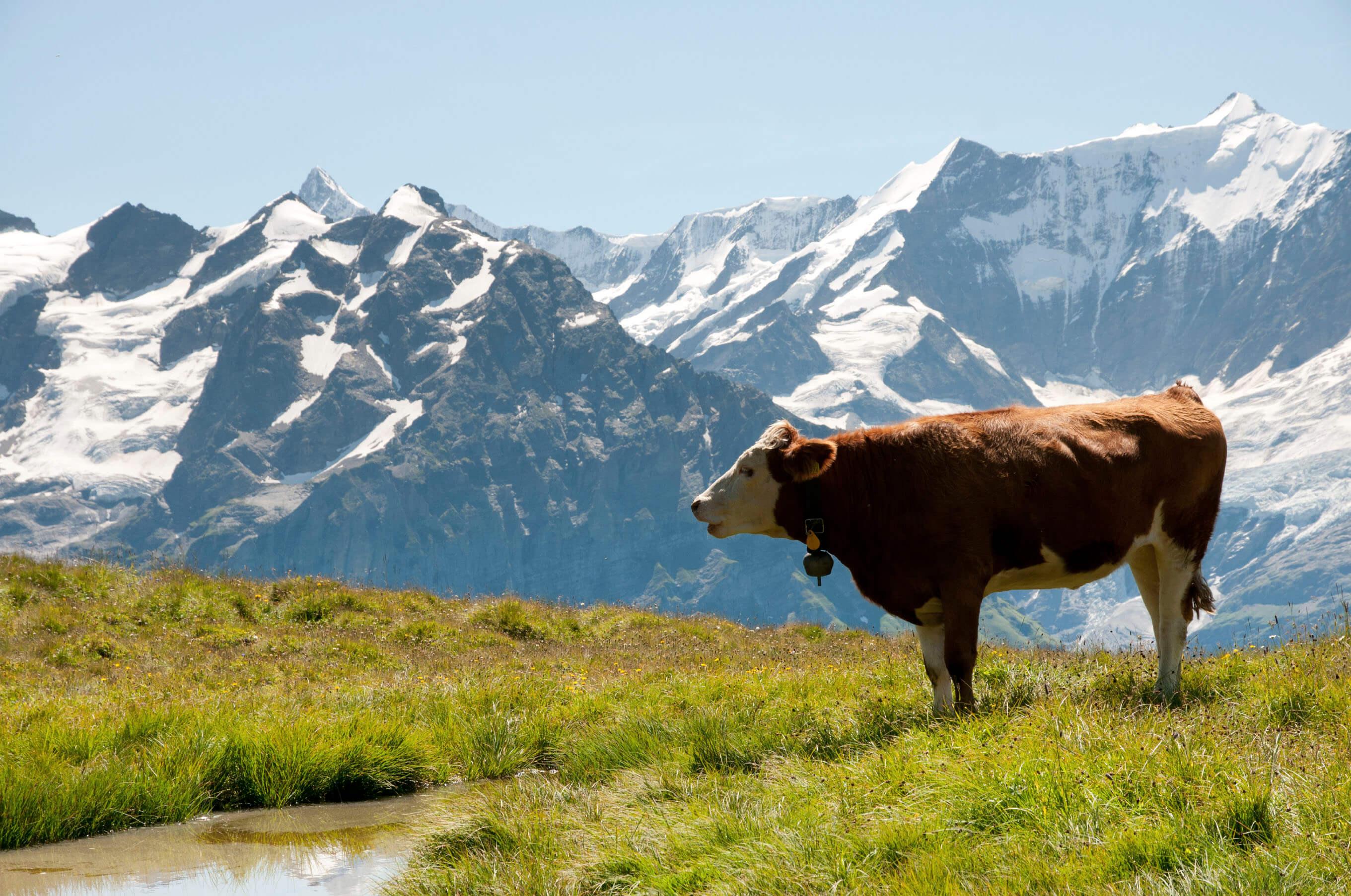 Swiss milk cow in a grass field in the Alps.