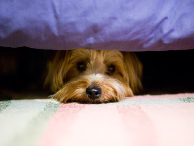 noise-sensitive dog hides from offending sounds