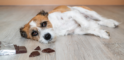 Dog Chocolate Toxicity Calculator (how much chocolate can a dog eat)