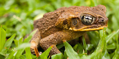 Cane Toads and Dogs (everything you need to know about toad poisoning)