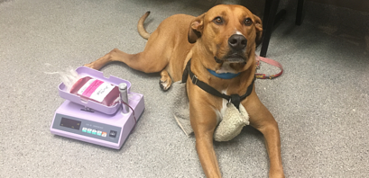Canine Blood Donation (all your questions answered)
