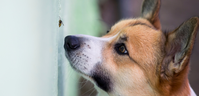 Has Your Dog Been Stung By A Bee? (what should you do?)
