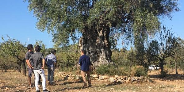 Oleoturismo olivo y visitantes