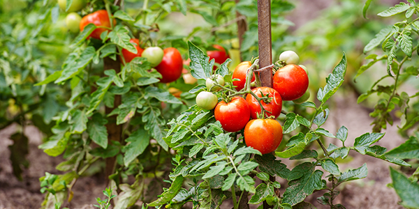 Creating and Planting a Salsa Garden