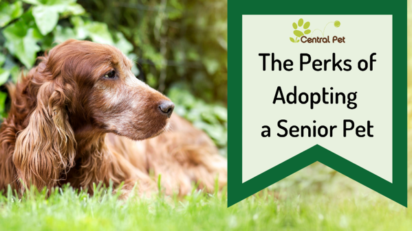 The perks of adopting a senior dog