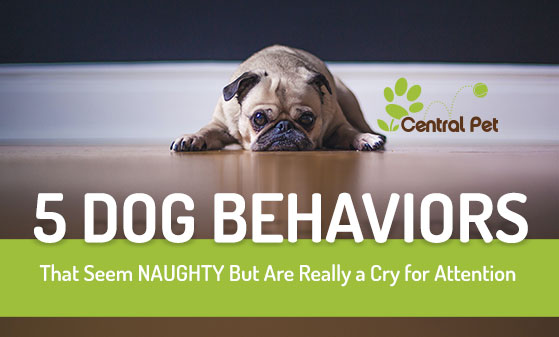 Dog Behavior Pug Sulking on Floor