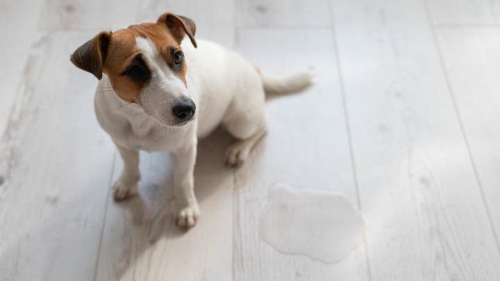 6 Tips to Stop a Dog From Peeing in the House
