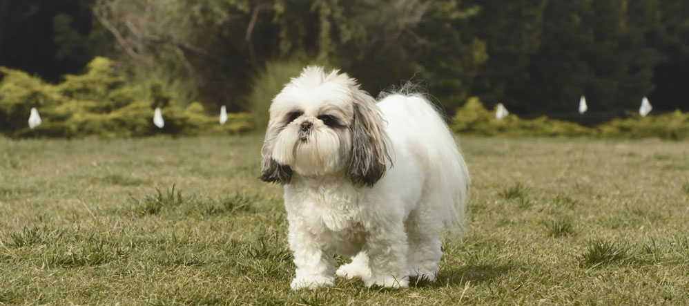 Clemson the Shih Tzu staying safe with Invisible Fence® Brand.