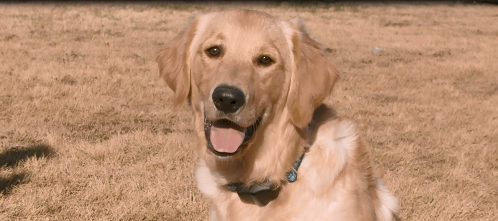 Training a Golden Retriever to Use Invisible Fence