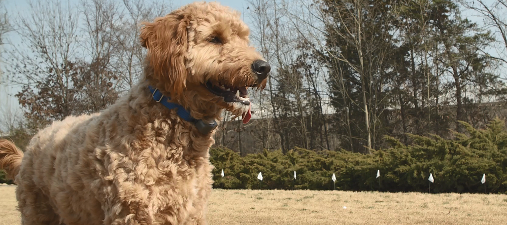 Considering an electric pet fence? Read this Invisible Fence® Brand Customer Review to learn how to train a Goldendoodle to use Invisible Fence.