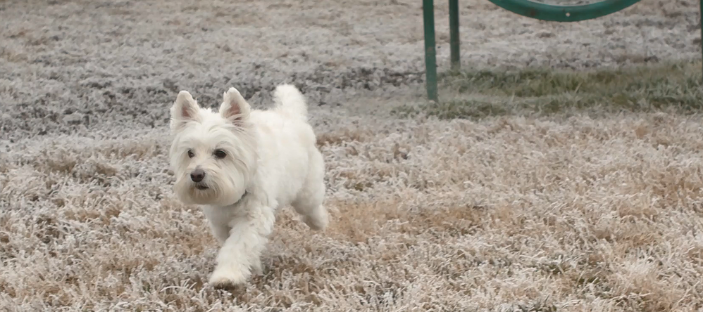 Training a Westie to Use Invisible Fence