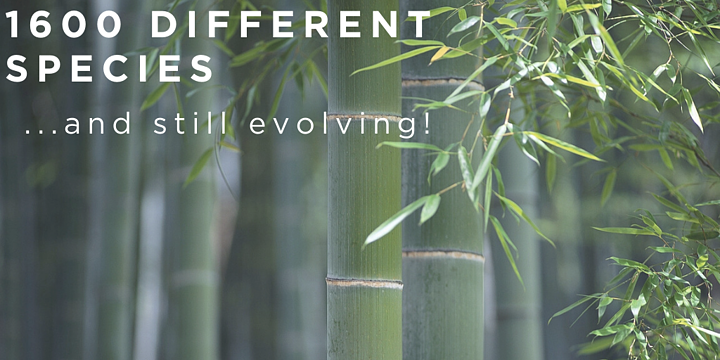 Why Giant Bamboo is such a Promising Resource