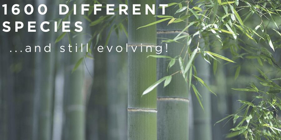 Perché il bamboo gigante è una risorsa promettente