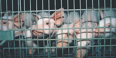 the-truth-behind-the-windowless-walls-of-factory-farms