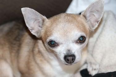 female-canine-dog-pyometra-a-silent-killer
