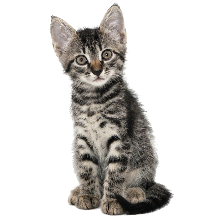 kitten gevlekt golddust_Tekengebied 1