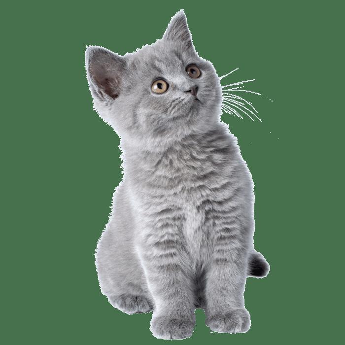 kitten grijs golddust_Tekengebied 1